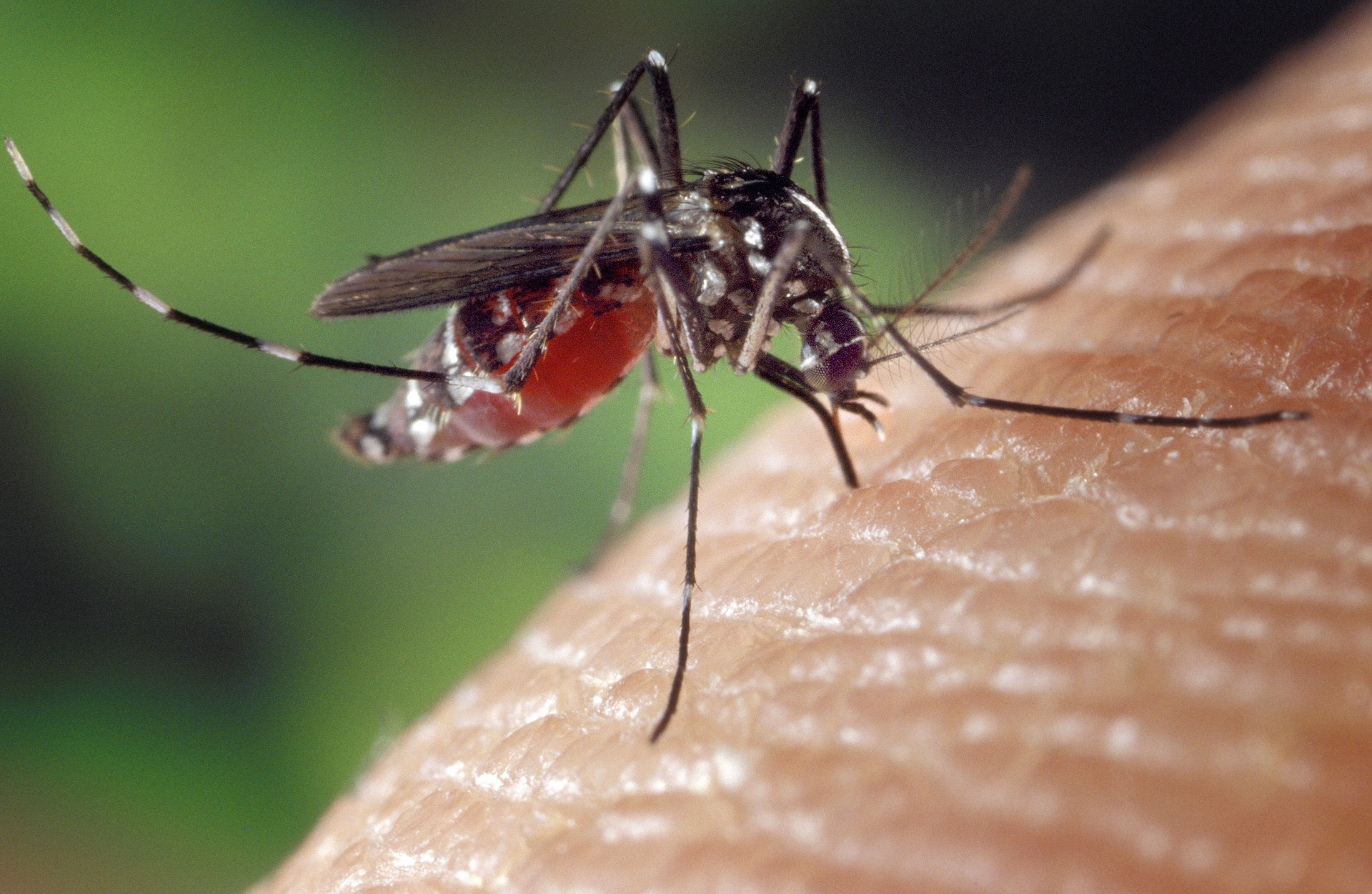 A mosquito on human skin